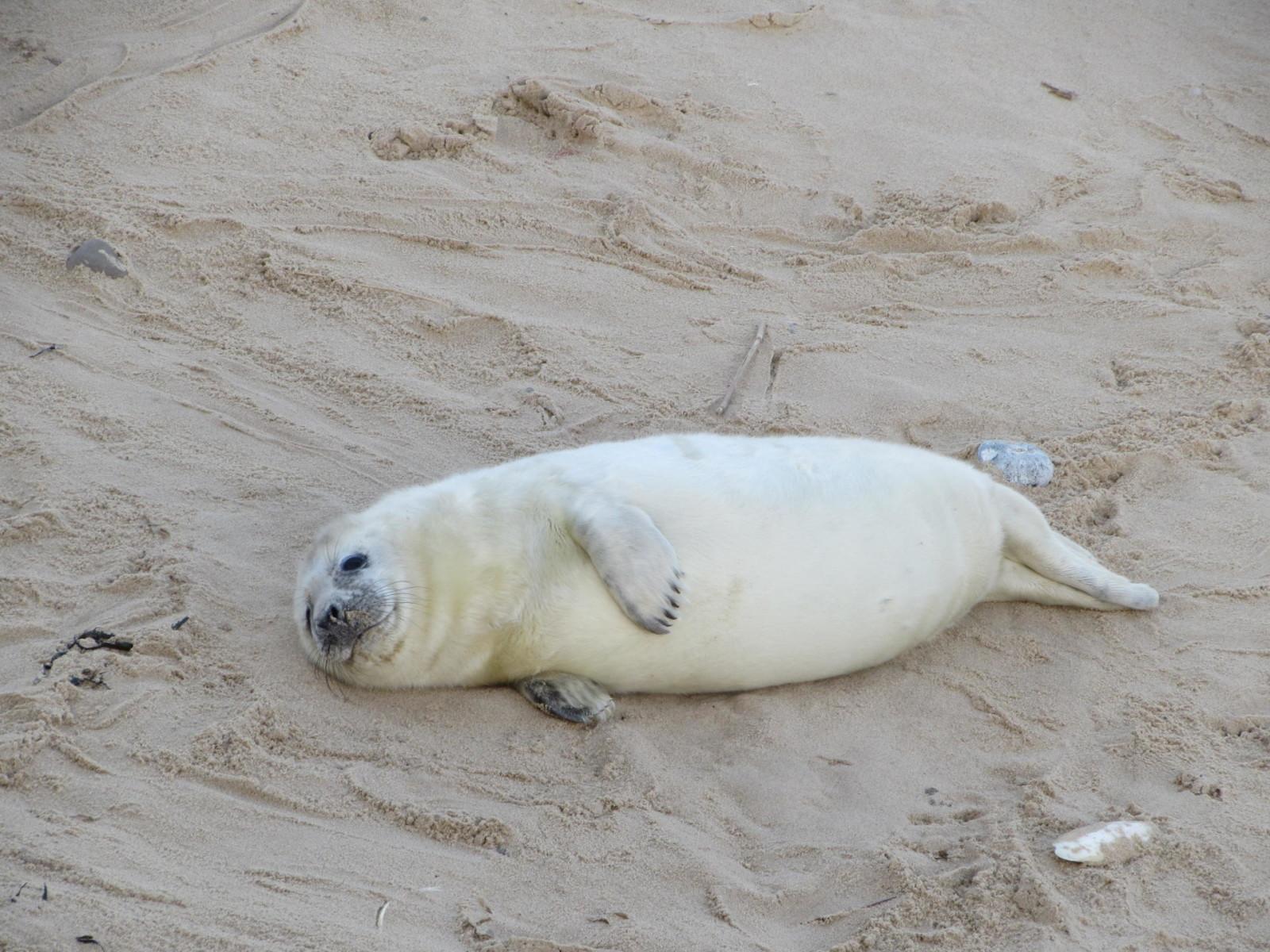 seal pup common grey seal baby seal seal watching norfolk england horsey horsey gap seals