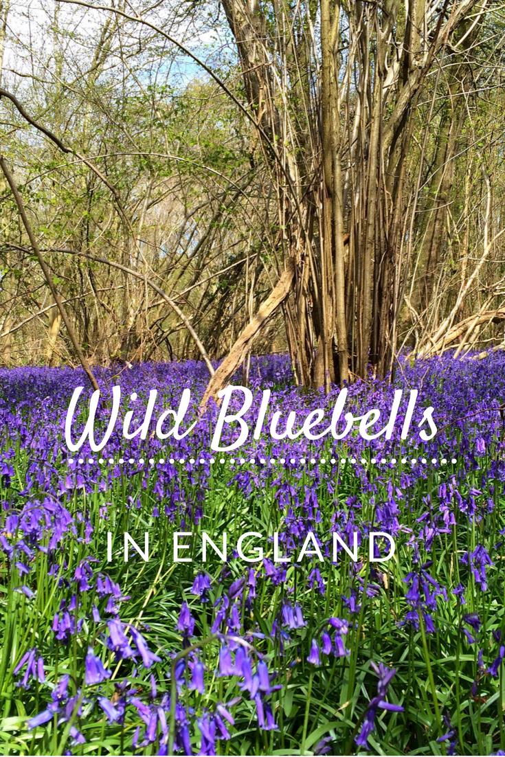 Wild flowers wild bloom wild bluebells Norfolk England uk Foxley wood forest