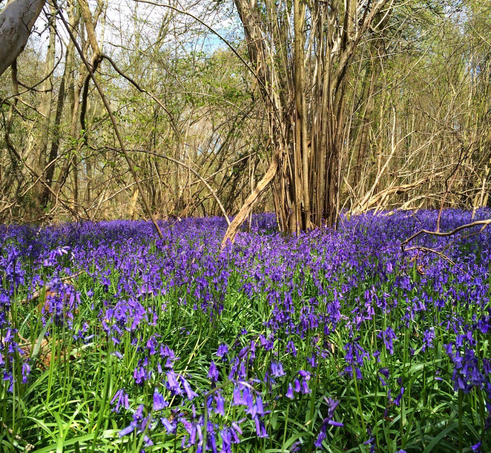 Wild bluebell forest Norfolk england