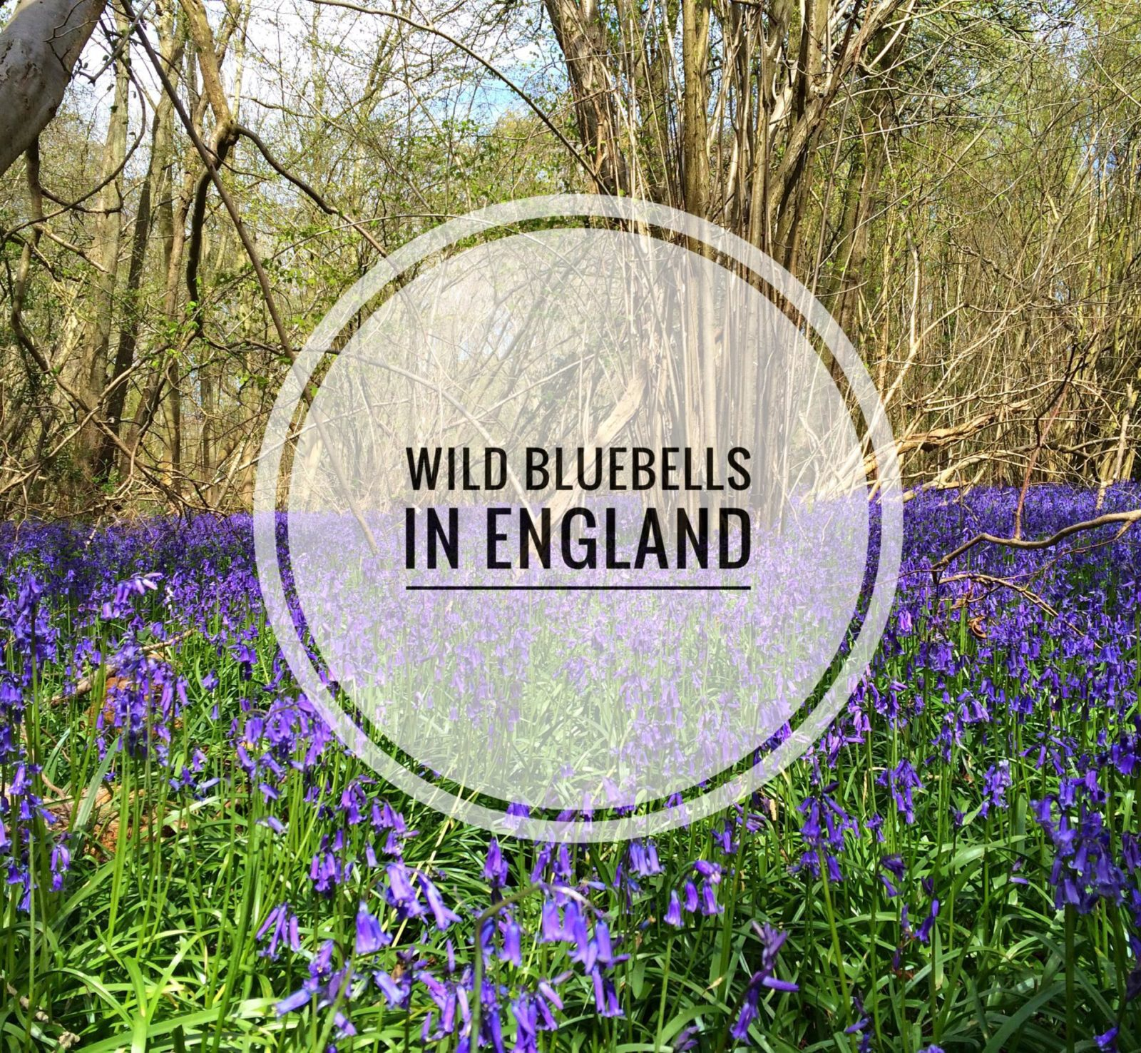 Wild Bluebells of Foxley Wood | Norfolk, England