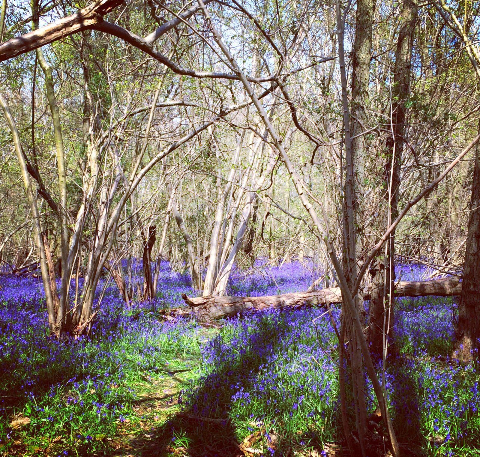 Enchanted Bluebell Forest Wild Bluebells Woods England Norfolk