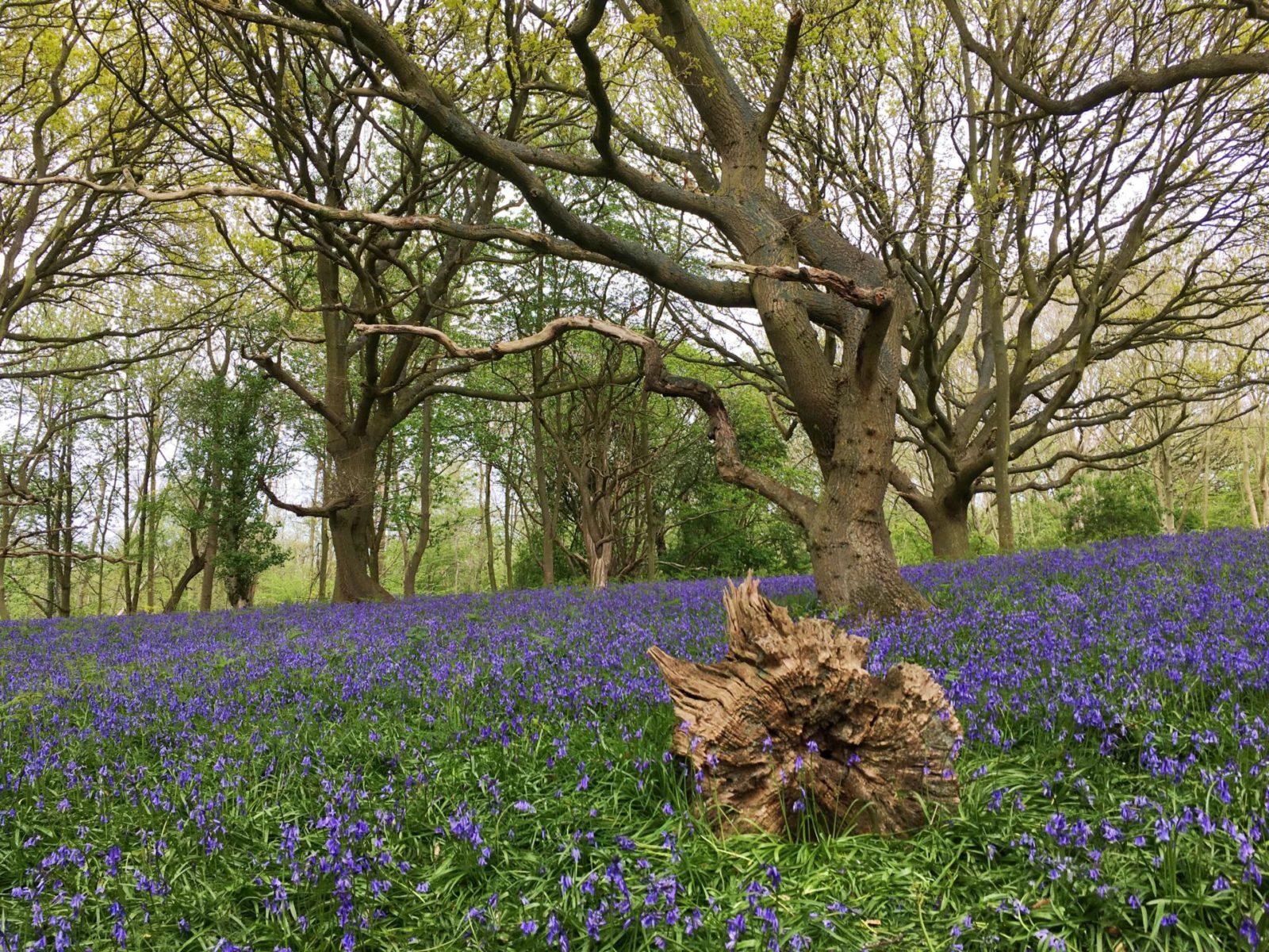 wild bluebells woodland fairhaven water garden wild flowers wild bloom norfolk england