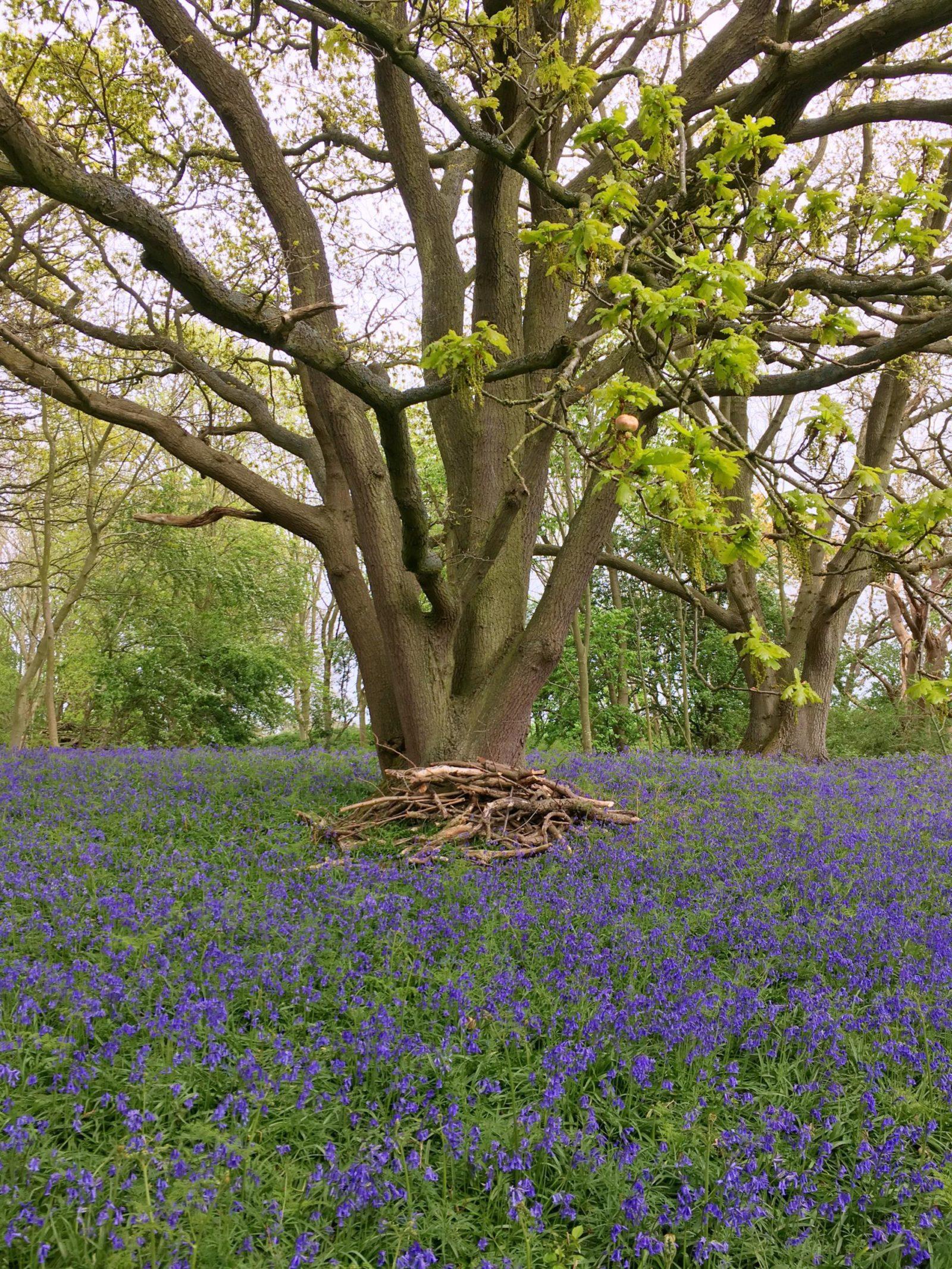 enchanted forest woodland wild bluebells wild flowers wild bloom norfolk england fairhaven